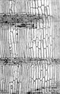 LEGUMINOSAE MIMOSOIDEAE Albizia versicolor
