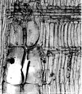 LEGUMINOSAE MIMOSOIDEAE Obolinga zanonii