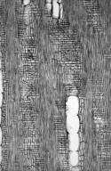 LEGUMINOSAE PAPILIONOIDEAE Bowdichia virgilioides