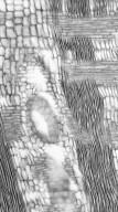 LEGUMINOSAE PAPILIONOIDEAE Hymenolobium excelsum