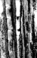 LEGUMINOSAE PAPILIONOIDEAE Kunstleria ridleyi