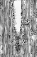 LEGUMINOSAE PAPILIONOIDEAE Machaerium lilacinum