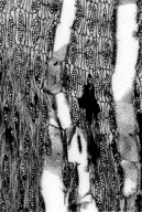 LEGUMINOSAE PAPILIONOIDEAE Muellera glaziovii