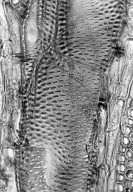 LEGUMINOSAE MIMOSOIDEAE Prosopis juliflora