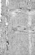 LEGUMINOSAE PAPILIONOIDEAE Sophora affinis