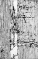LEGUMINOSAE PAPILIONOIDEAE Tephrosia vogelii