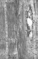 LEGUMINOSAE PAPILIONOIDEAE Tipuana tipu