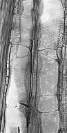 CANNABACEAE Celtis laevigata
