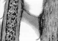VITACEAE Parthenocissus tricuspidata