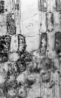 PENTAPHYLACACEAE Ternstroemia punctata