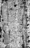 CELASTRACEAE Prionostemma aspera