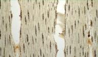 LEGUMINOSAE MIMOSOIDEAE Plathymenia reticulata