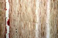 LEGUMINOSAE PAPILIONOIDEAE Inocarpus fagifer