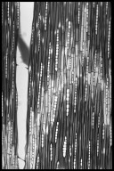CELASTRACEAE Lophopetalum wightianum