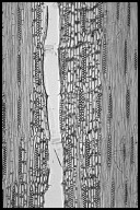 LEGUMINOSAE CAESALPINIOIDEAE Apuleia leiocarpa