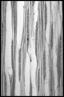 MAGNOLIACEAE Liriodendron tulipifera