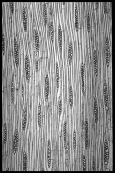 LEGUMINOSAE CAESALPINIOIDEAE Mimosoid Clade Newtonia buchananii