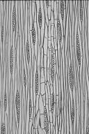 LEGUMINOSAE CAESALPINIOIDEAE Mimosoid Clade Parkia pendula