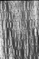 LEGUMINOSAE PAPILIONOIDEAE Dalbergia latifolia