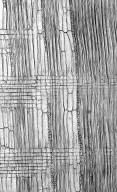 LEGUMINOSAE CAESALPINIOIDEAE Mimosoid Clade Archidendron brevipes