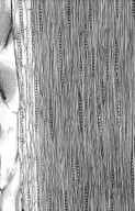 LEGUMINOSAE MIMOSOIDEAE Archidendron ptenopum