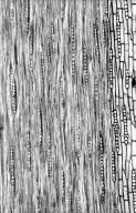 LEGUMINOSAE MIMOSOIDEAE Zygia racemosa