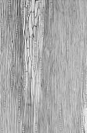 LEGUMINOSAE CAESALPINIOIDEAE Mimosoid Clade Pseudopiptadenia psilostachya