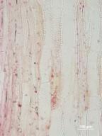 ASTERACEAE Artemisia tridentata