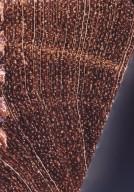 ACANTHACEAE Aphelandra pulcherrima
