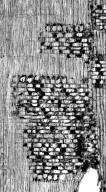 LEGUMINOSAE DETARIOIDEAE Browneopsis excelsa