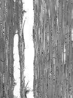 FAGACEAE Castanopsis malaccensis