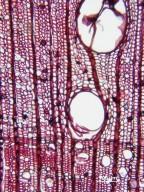 FAGACEAE Castanopsis tibetana