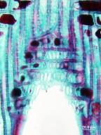 FAGACEAE Lithocarpus edulis