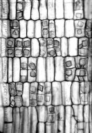 SALICACEAE Ahernia glandulosa