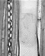 SALICACEAE Calantica cerasifolia