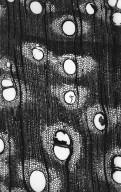 LEGUMINOSAE MIMOSOIDEAE Paraserianthes toona
