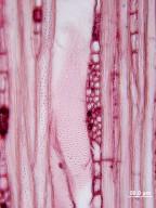 STYRACACEAE Melliodendron xylocarpum