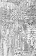 CORNACEAE Alangium javanicum