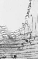 ANACARDIACEAE Spondias pinnata