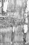 ANACARDIACEAE Spondias purpurea