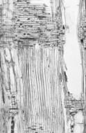 ANNONACEAE Xylopia dehiscens