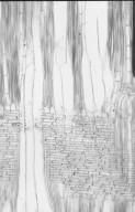 APOCYNACEAE Alstonia macrophylla