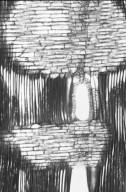 ARALIACEAE Schefflera morototoni