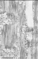 BIGNONIACEAE Deplanchea tetraphylla