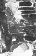 MALVACEAE HELICTEROIDEAE Durio zibethinus