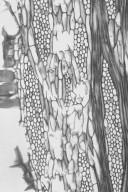 BORAGINACEAE Cordia alba