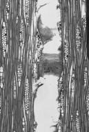 BURSERACEAE Canarium australianum