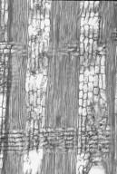 COMBRETACEAE Terminalia bialata