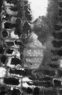 COMBRETACEAE Terminalia catappa