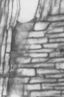 ASTERACEAE Baccharis halimifolia